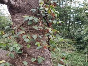 405桜の幹に取りついたフウトウカズラ