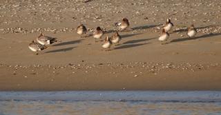 105砂浜で休むヒドリガモたち