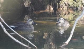 111山中のため池で見かけたカルガモ