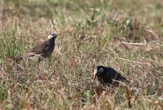 218草地で採食するムクドリ