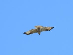 3082羽のノスリ、羽の模様が違う