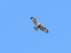 3092羽のノスリ、羽の模様が違う
