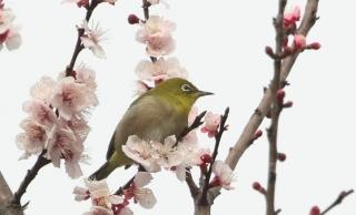 215桜の花とメジロ