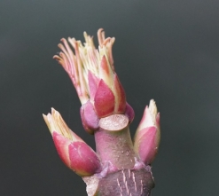 116ゴンズイの芽が伸び出した
