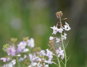 106ハマダイコンの花