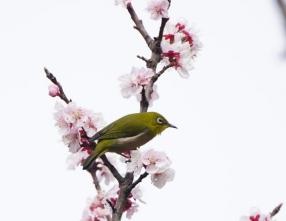 109早咲きの桜に来たメジロ