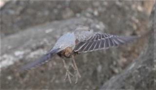 102飛び出したイソヒヨドリ♀