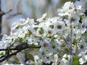 307ヤマナシの花