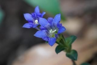 122フデリンドウの花の青色が目立った