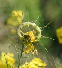 116菜の花の虫こぶ