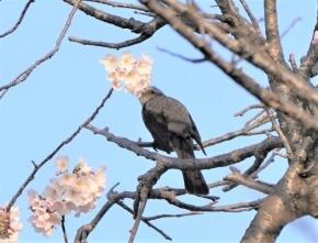 104桜に来たヒヨドリ