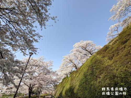 20210331群馬県前橋市、前橋公園の桜1