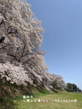20210331群馬県藤岡市、七輿山古墳(ななこしやまこふん)の桜1