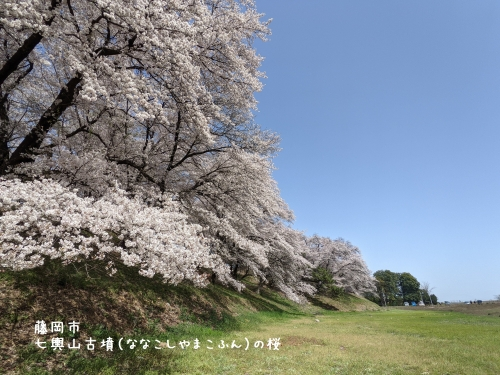 20210331群馬県藤岡市、七輿山古墳(ななこしやまこふん)の桜2