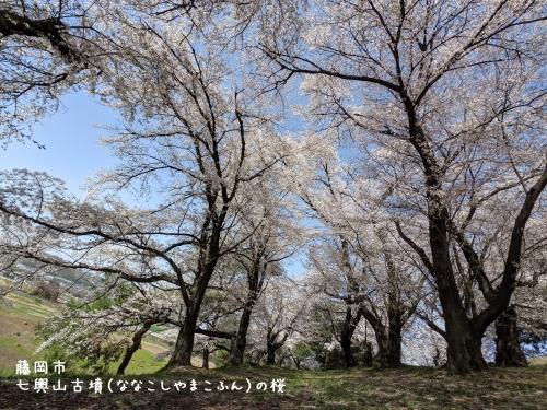 20210331群馬県藤岡市、七輿山古墳(ななこしやまこふん)の桜3