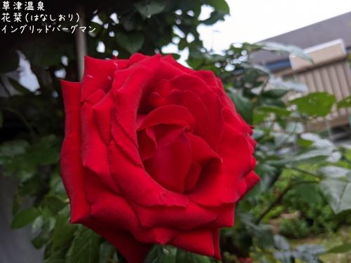 20210705草津温泉カフェ花栞(はなしおり)イングリッドバーグマン3