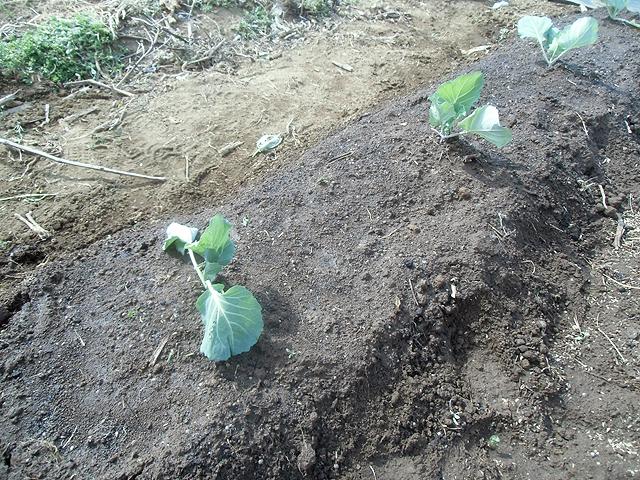 春キャベツの苗