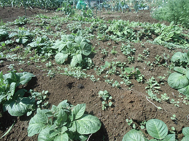 ジャガイモと雑草