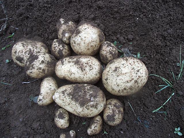 掘ったジャガイモ