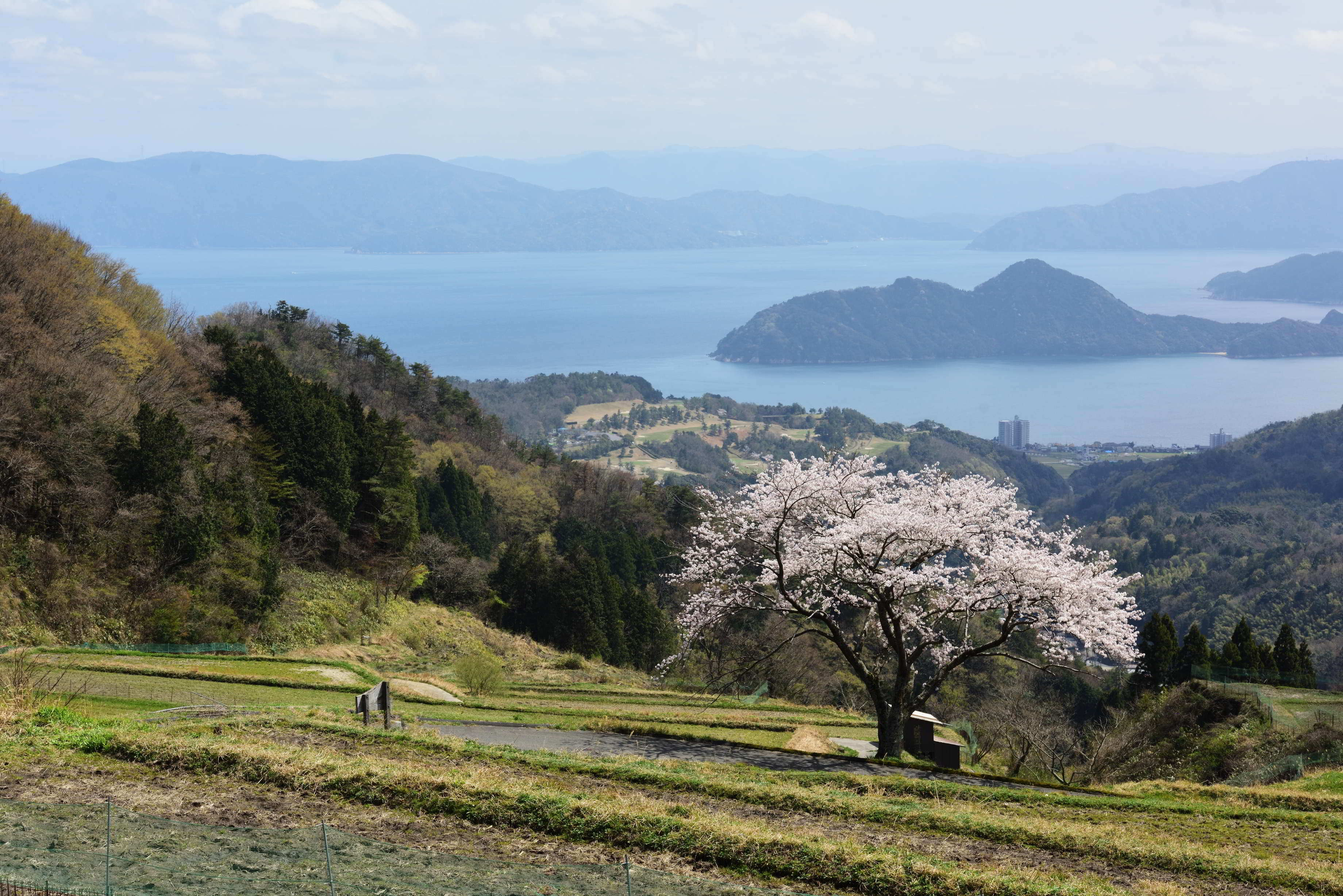 松尾の一本桜