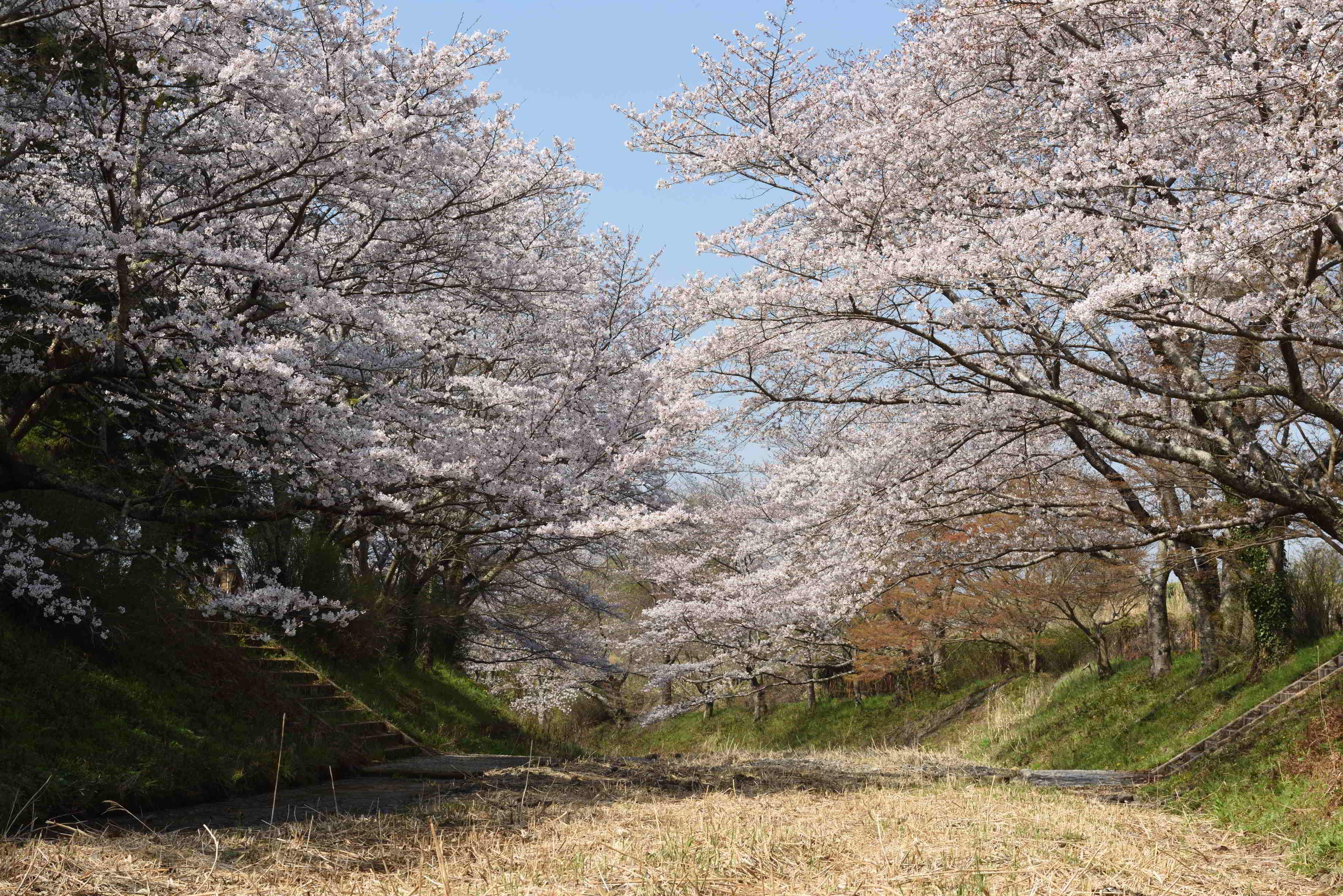 井手町・川桜