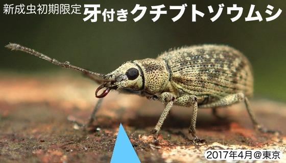 03牙象虫A