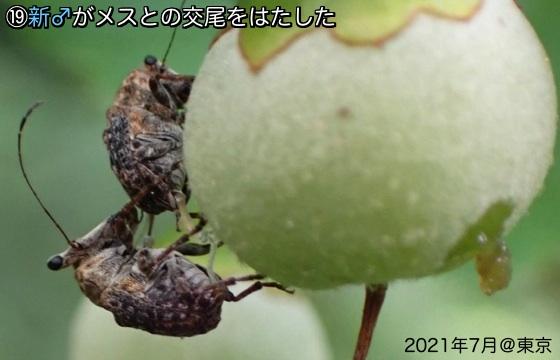 17エゴ髭長象虫交尾9