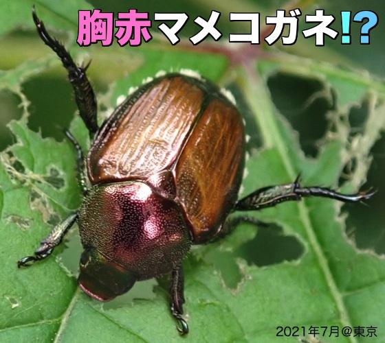 01胸赤マメコガネ2021