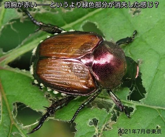 03胸赤マメコガネB