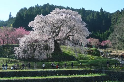 2021-3 宇陀桜 (2)