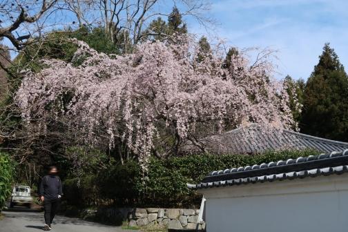 2021-3 宇陀桜 (41)