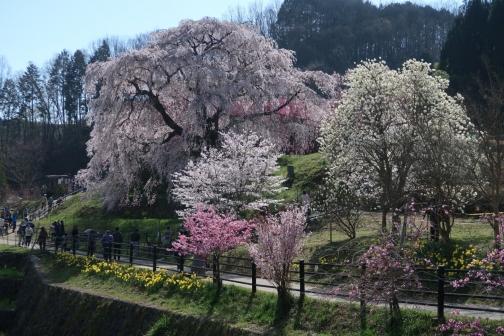 2021-3 宇陀桜 (16)