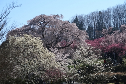 2021-3 宇陀桜 (5)