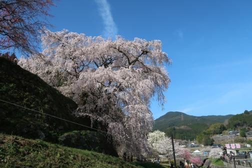 2021-3 宇陀桜 (7)