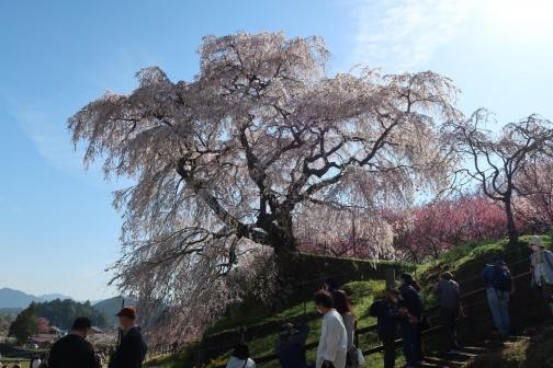 2021-3 宇陀桜 (12)