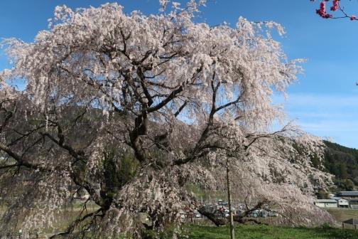 2021-3 宇陀桜 (11)