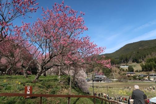 2021-3 宇陀桜 (10)