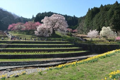 2021-3 宇陀桜 (3)