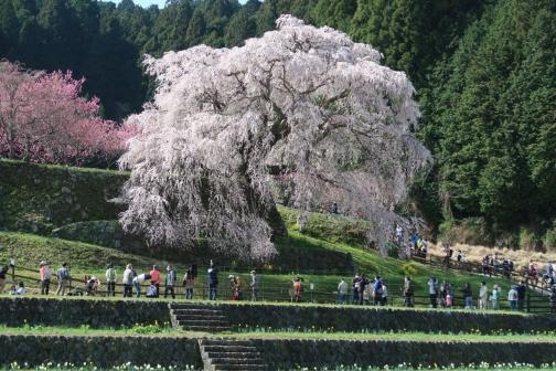 2021-3 宇陀桜 (17)