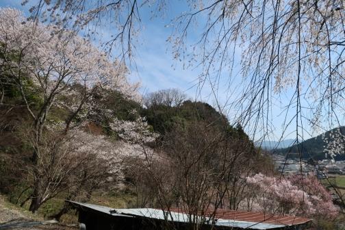 2021-3 宇陀桜 (32)