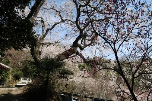 2021-3 宇陀桜 (34)
