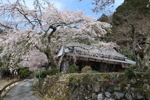 2021-3 宇陀桜 (75)