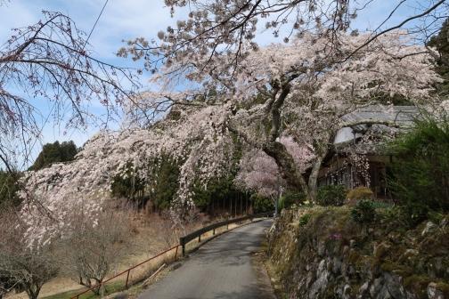 2021-3 宇陀桜 (76)