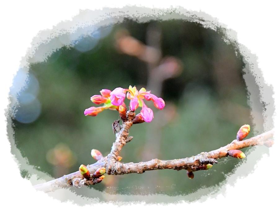 DSC_3770河津桜