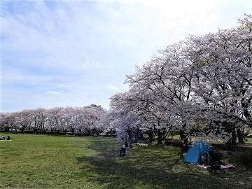 さきたま古墳公園の桜 (3)