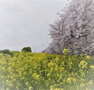 4桜と菜の花のコラボ