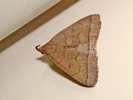 ヒメコブヒゲアツバ