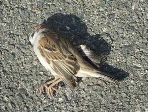 スズメの死骸