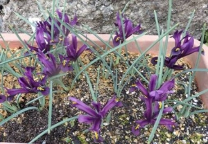 紫ミニアイリス