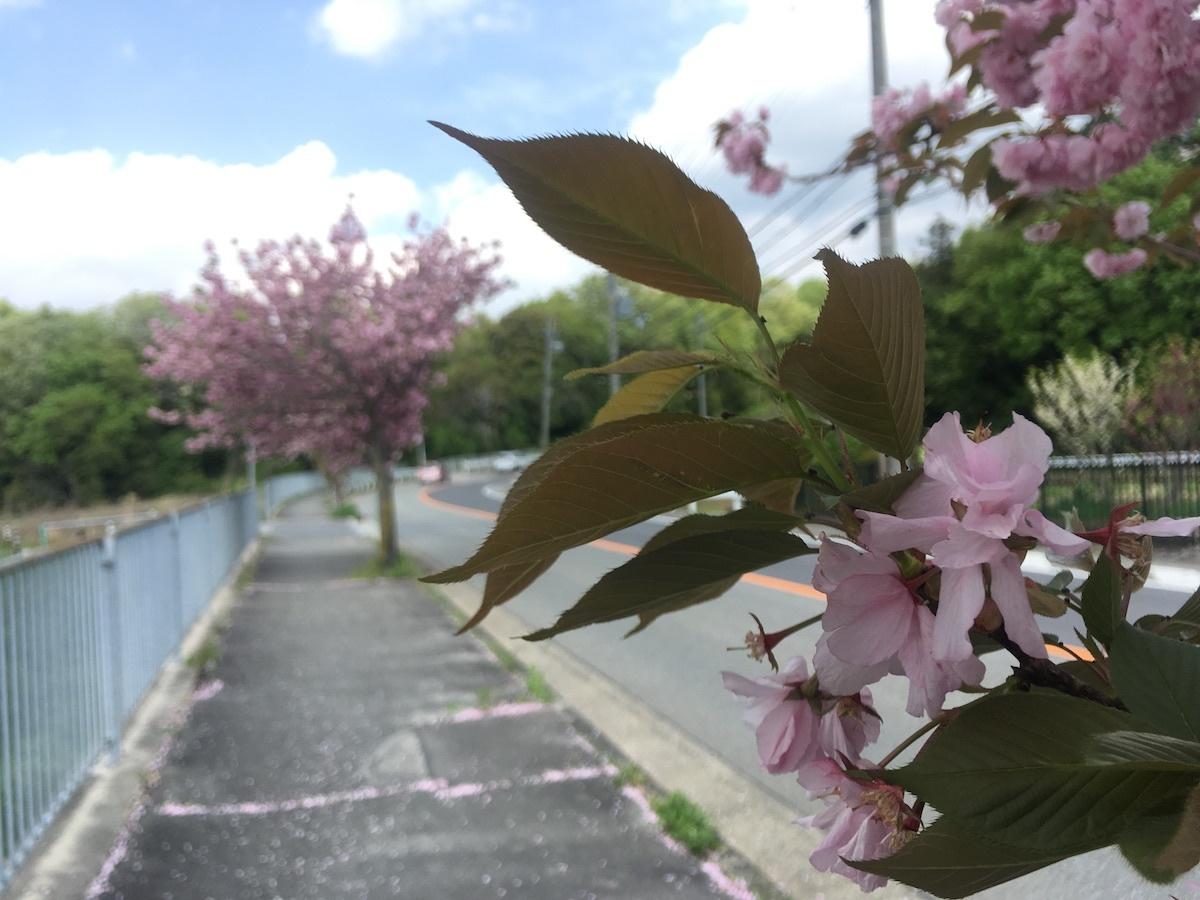 05八重桜